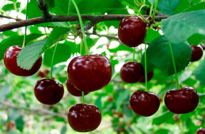 Выращивание плодовых культур